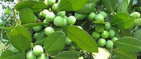 Pelembab Tea Tree The Shop the shop tea tree lotion ichamarline