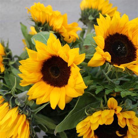 imagenes de flores de girasol origen y significado del girasol blog bourguignon