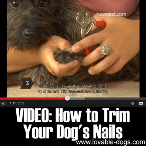 how to trim a dogs nails lovable dogs how to trim your s nails lovable dogs