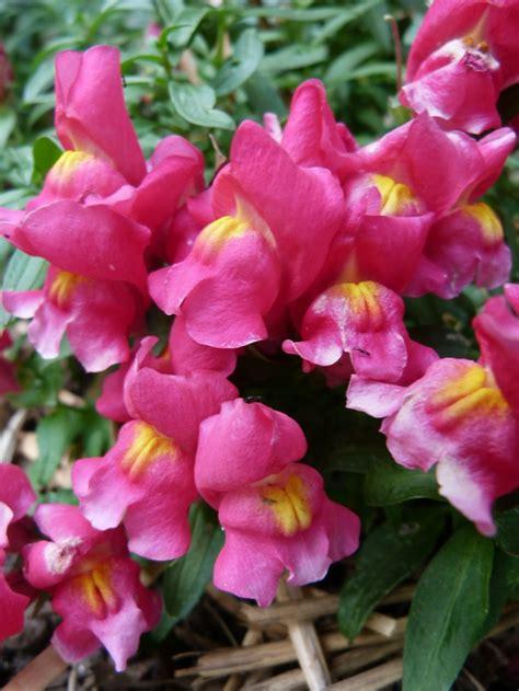 snapdragons flowers pinterest