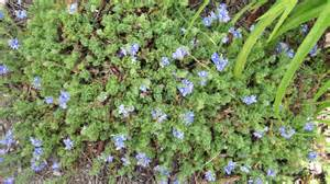 purple low growing ground cover ask an expert
