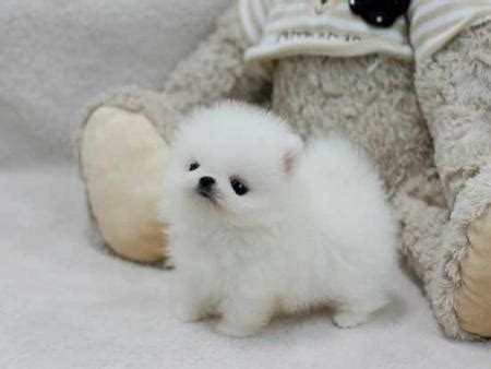teacup pomeranian for sale in kent teacup pomeranian precious