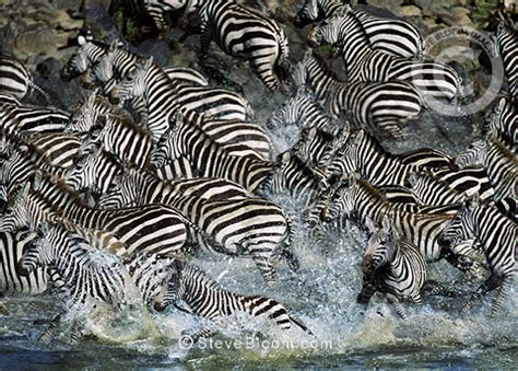 Zebra Migration Pattern | zebras crossing mara river during the great migration kenya
