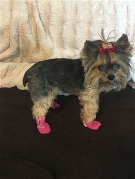 yorkie knee issues 1000 images about summer boots mini meshies by barko booties on