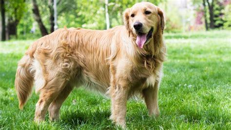 max golden retrievers golden retriever tout sur la race de chien golden retriever