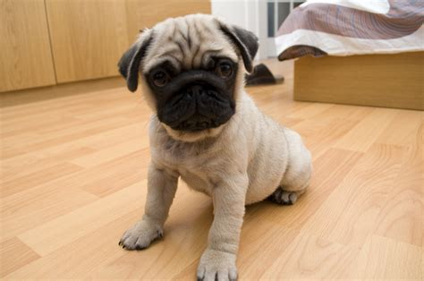 precious pugs adorable archives about pug