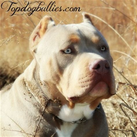 purple tri color pitbulls best pitbulls american bully breeder
