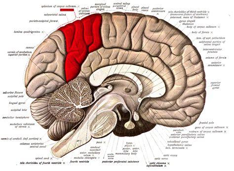 human brain sections precuneus wikipedia