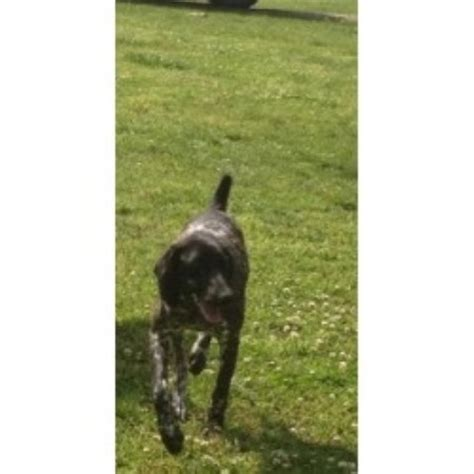 german shorthaired pointer puppies for sale in va kuntz kennels german shorthaired pointer breeder in belva west virginia listing id