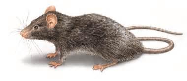Roof Rats Roof Rat Illustration