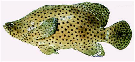 Ikan Kerapu Mulut Tikus Beku ternak ikan gt ikan kerapu gt penternakan ikan