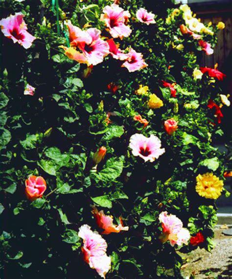 hidden valley hibiscus potting & planting hibiscus