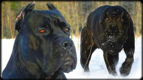 meanest breeds looking dogs breeds