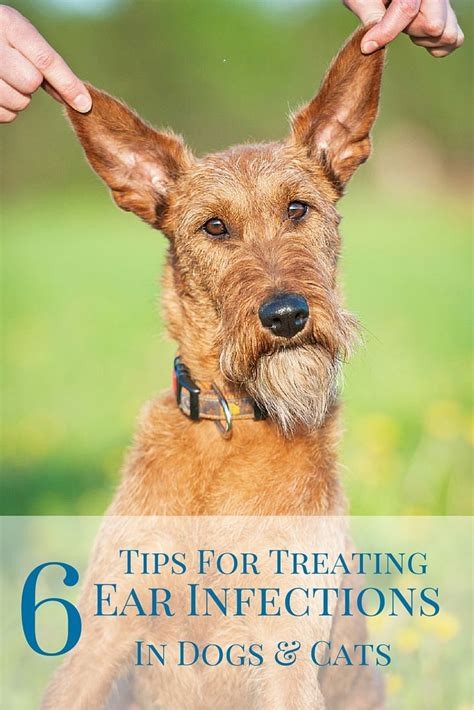 how do dogs get ear infections ear infections are one of the most common canine and