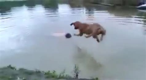 Pinks Bulldog Drowns In Pool by Saves Drowning Human Ilovedogsandpuppies