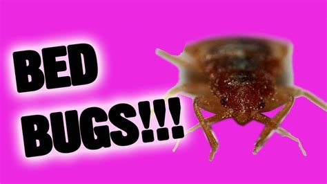 bed bugs youtube bed bugs youtube