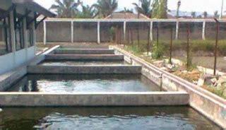 Bibit Ikan Gurame Empang Fahrul cara budidaya gurami kolam beton lebih mudah