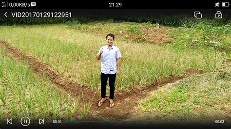 Jual Bibit Vetiver rumput vetiver rp 300 bibit harga proyek akar wangi