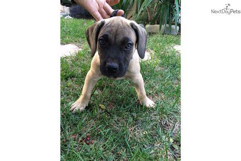 blue presa canario puppies for sale presa canario for sale for 700 near los angeles california a2840053 b171