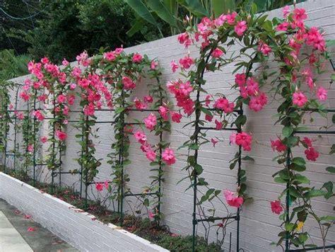 mandevilla pink pinterest   pink plant