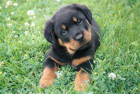pictures of puppy rottweilers rottweiler puppies pictures pets world
