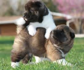 Dogs For Sale In Dogs Images Puppies For Sale Email Me At
