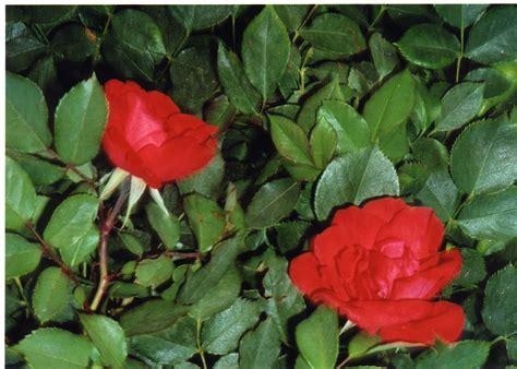 flores rojas file rosas rojas jpg wikimedia commons