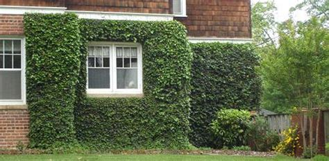 vining house plant that is trained to cover the ceiling growing ivy and other climbing vines on old brick masonry