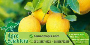 Jual Bibit Jeruk Nipis Kediri jual bibit jeruk lemon