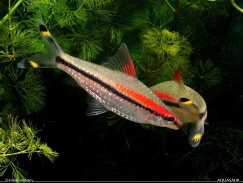Ikan Rednose Untuk Aquarium Dan Aquascape akuarium unik macam jenis ikan khusus aquascape
