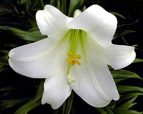 fiore il giglio significato giglio linguaggio dei fiori