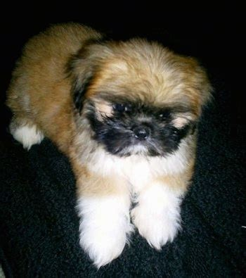 shinese puppies shinese breed pictures 1