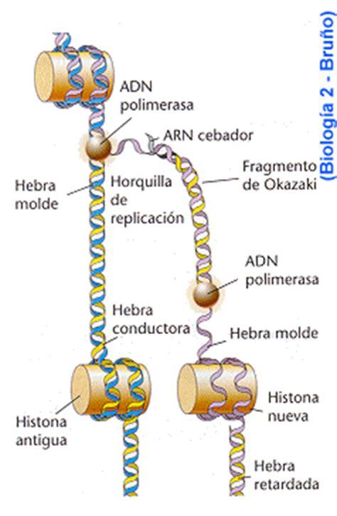 cantidad de cadenas del adn pedro aviles unidad 4