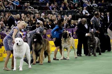 westminster show on tv national show 2016 when and where to on tv live for 15th annual