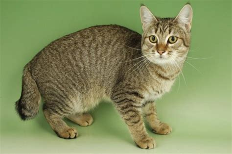 Hair Style Photos For Pixie Bob Cats by Pixie Bob Cat Cat Breeds Information Pixie Bob Cat Breed