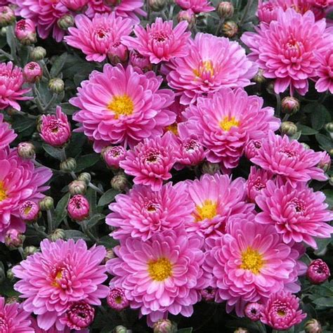 aster varieties species types aster perennial seeds how to grow plant asters