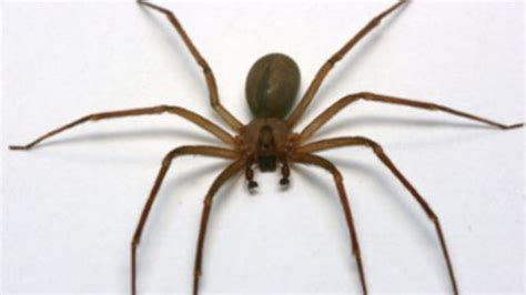 brown recluse image brown recluse images search