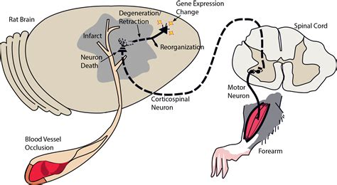 rat motor cortex inosine treatment helps recovery of motor functions after