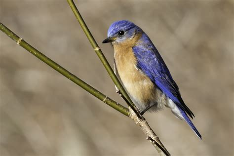 eastern bluebird song call voice sound