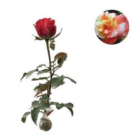 Jual Bibit Bunga Mawar Di Makassar jual tanaman mawar batik orange bibit