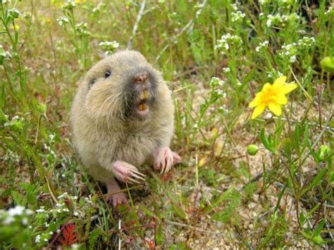 how to get rid of a gopher in my backyard how to get rid of gophers humanely