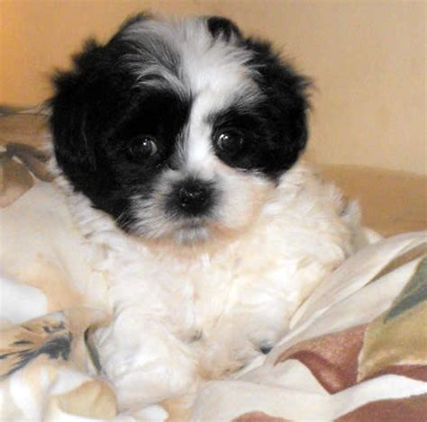 bichon and shih tzu mix for sale shih tzu bichon mix for sale