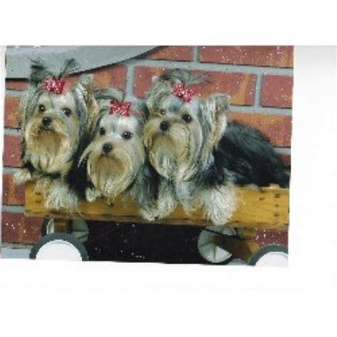 yorkie breeders in ky moonlight yorkies terrier breeder in kentucky