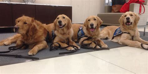 comfort dogs comfort dogs return to boston for cuddles ahead of 2014