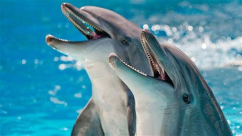 dolphins a kid s book of cool images and amazing facts about dolphins nature books for children series volume 5 books dolphin pictures all about dolphins by