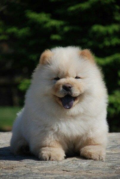 cutest puppy in the whole world chow chow my chubbs the cutest in the whole world pets puppys