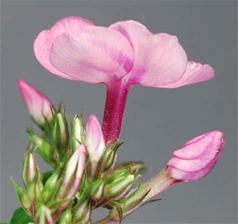 Segiempat Floral Sp 01 phlox