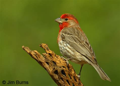 male house finch house finch