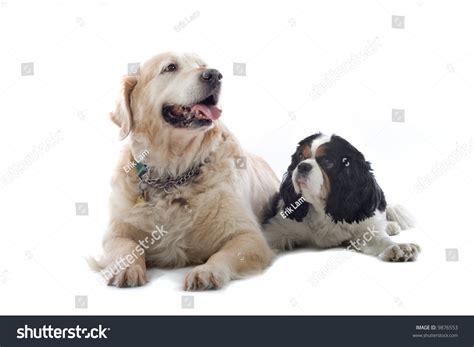 golden retriever cross cavalier king charles spaniel golden retriever labrador and a cavalier king charles spaniel isolated on a white