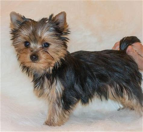 show yorkies for sale akc show qualityl yorkies for sale